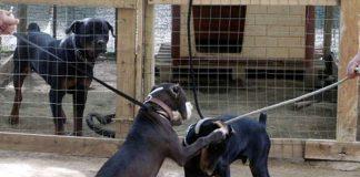 combattimenti cani rapimento riscatto