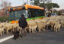 arconate-gregge-pecore-blocca-autobus